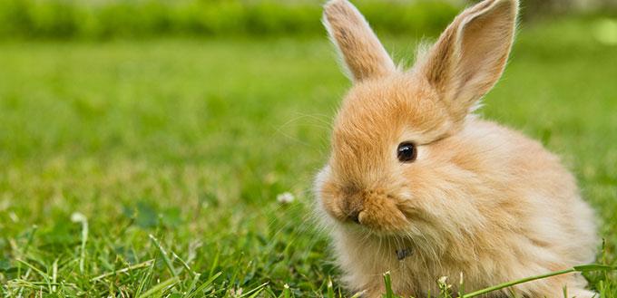 Baby gold rabbit