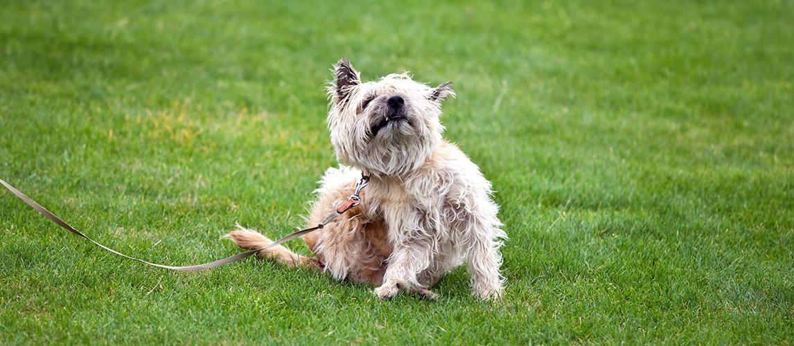 Best-Tick-Repellent-for-Dog