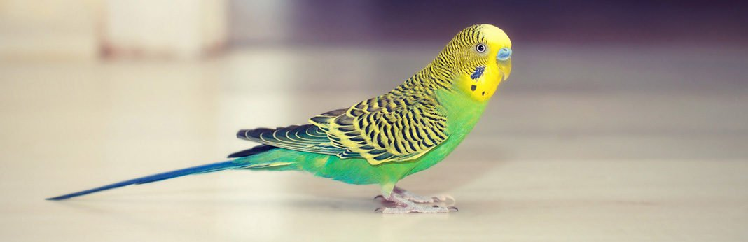 Budgie Bird: All You Should Know About This Little Bird
