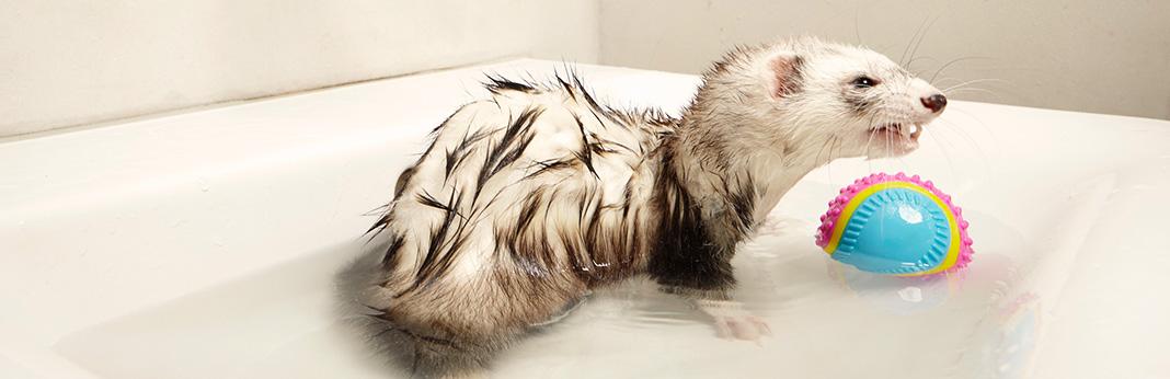 Can-Ferrets-Swim1