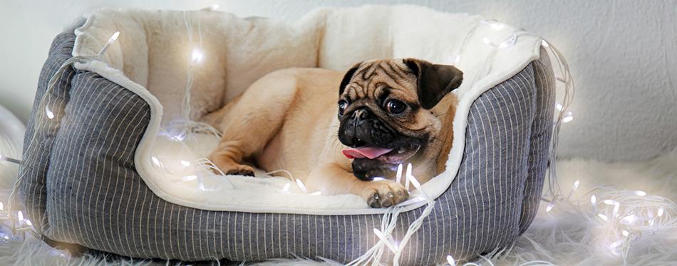 Cute little pug in bed