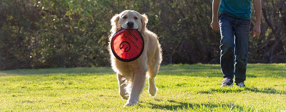 Golden Retriever with Frisbee