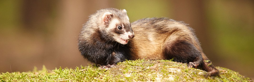 How-to-Train-a-Ferret-Not-to-Bite