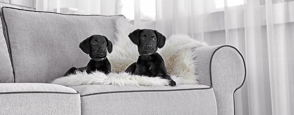 Labrador puppies on sofa