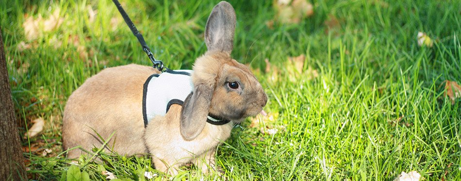 Rabbit on lead