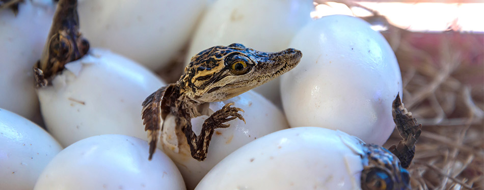 baby crocodiles are hatching from eggs