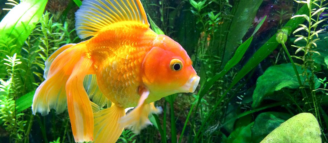 best-goldfish-food