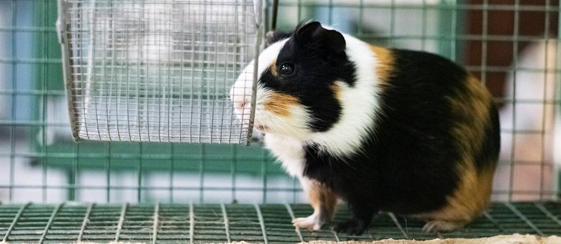best-guinea-pig-cage