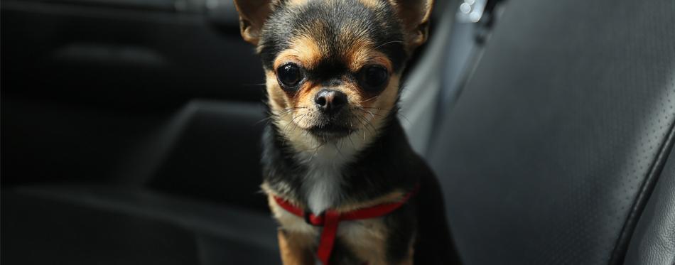 car seat belt for pets