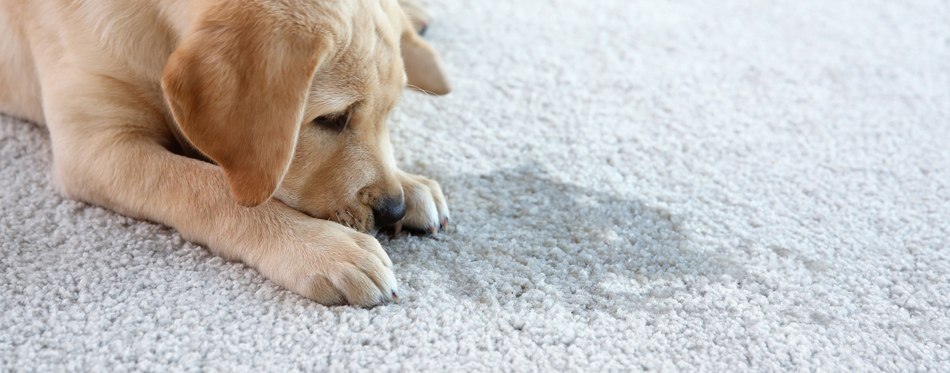 The Best Carpet Cleaners for Dog Urine (Review) in 2019