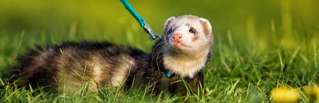 do-ferrets-stink