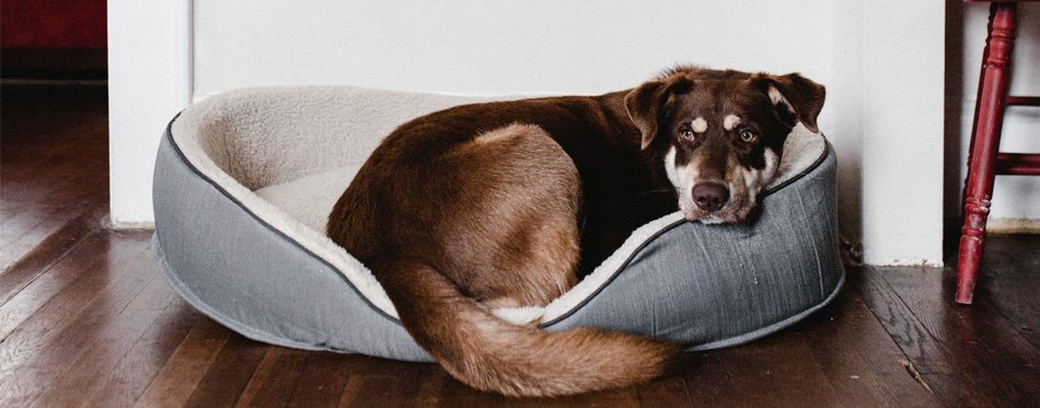 dog in dog bed