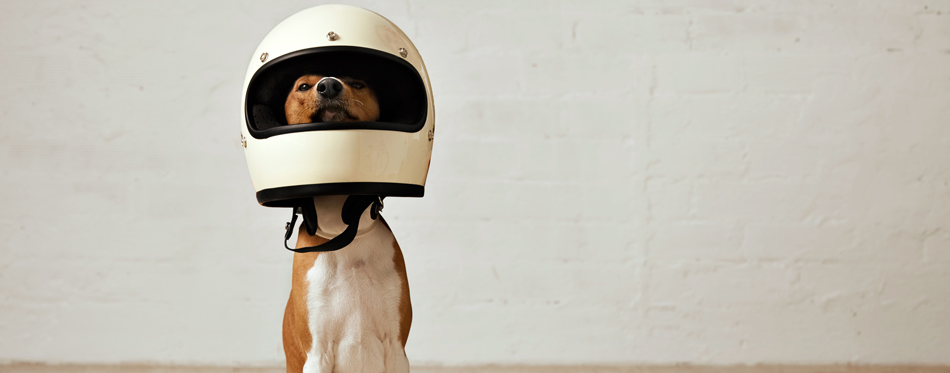 dog wearing a helmet