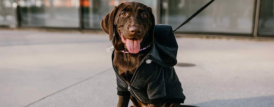 dog wearing hoodie