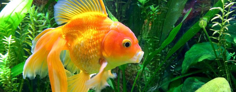 food for beta fish