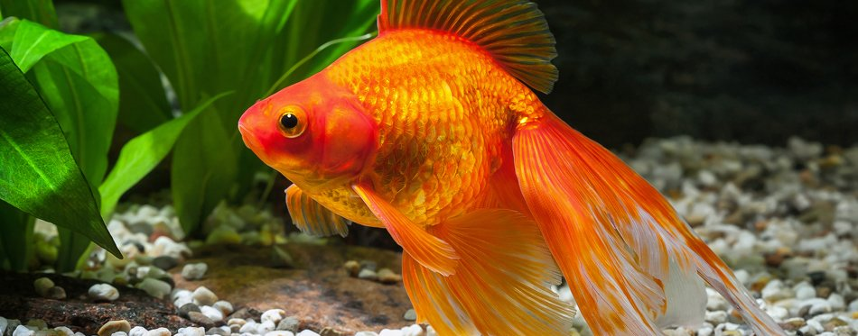 goldfish nutrition