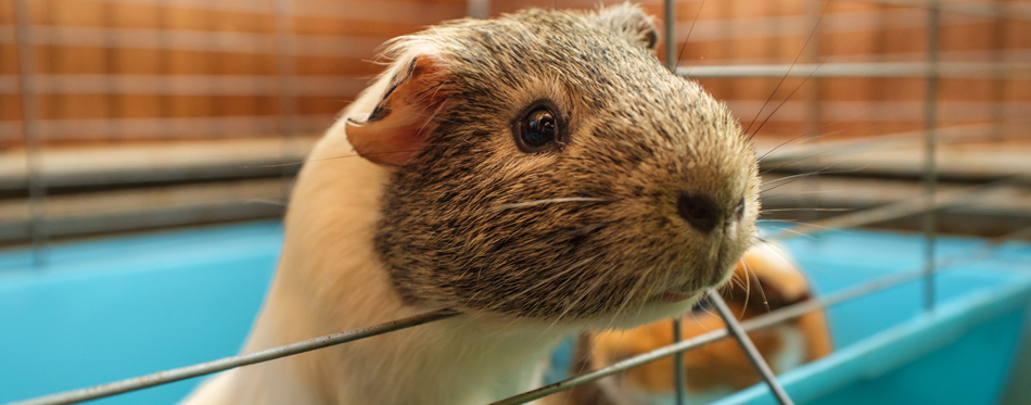 guinea pig in a cage