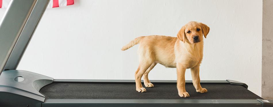 labrador puppy standing on treadmill