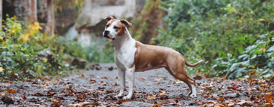 pitbull in forrest