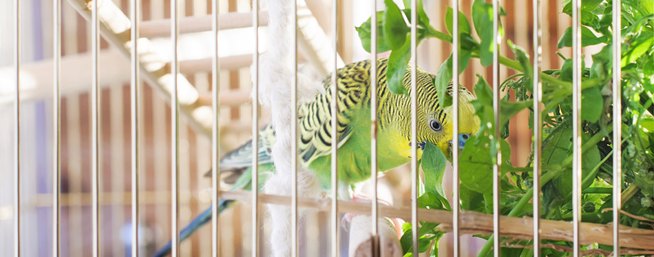 A green domestic budgie eating grass