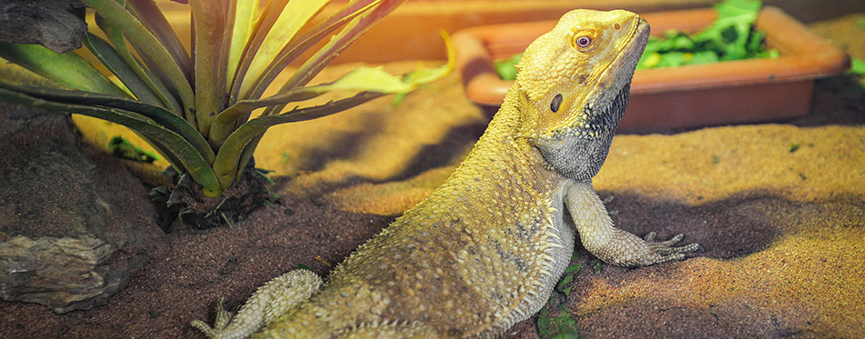 Bearded dragons lying on ground