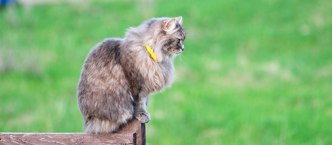 Best-Flea-Collar-for-Cats