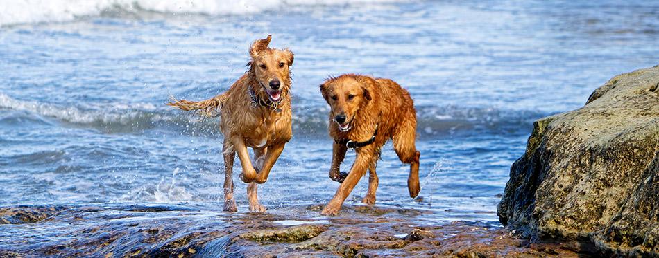 Dogs Running on Beach Rocks
