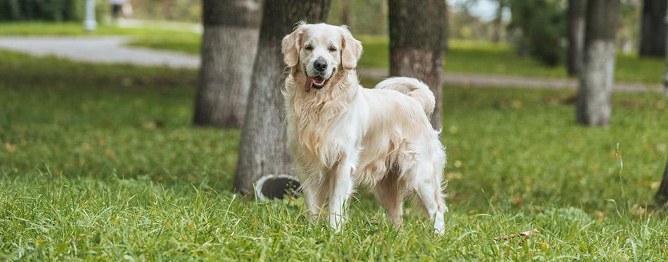 Golden retriever dog standing on grass