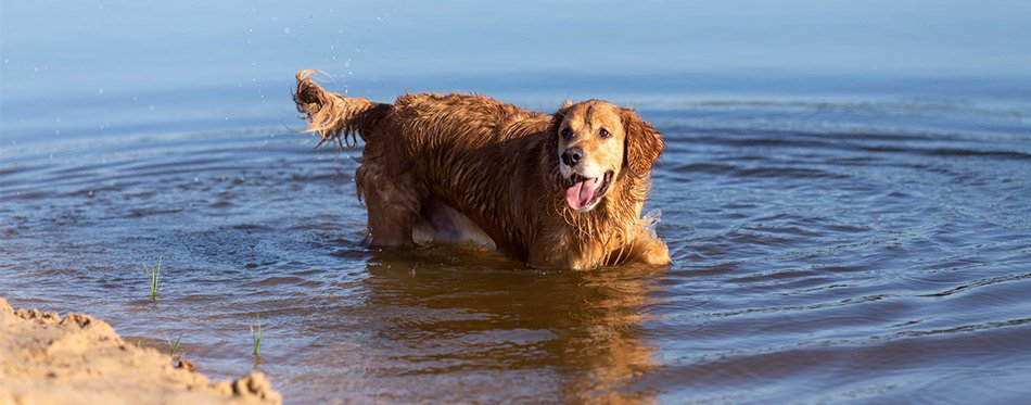 Golden retriever in the lake