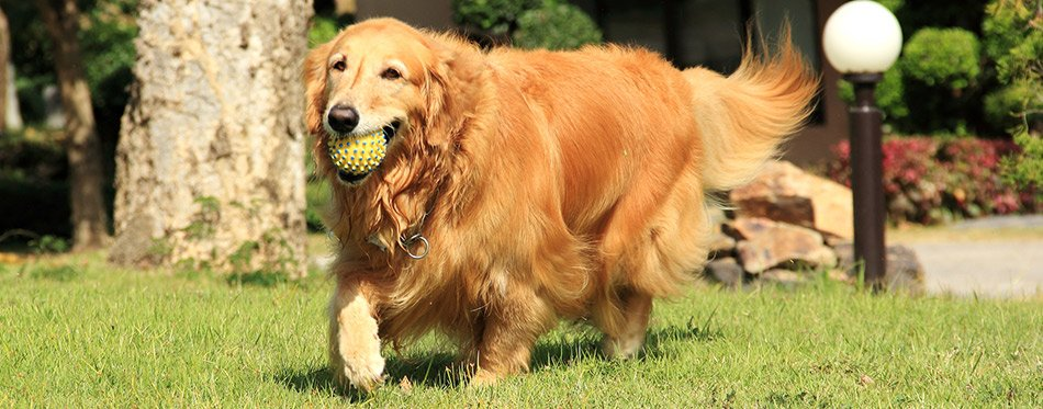 Golden retriever running