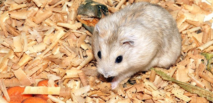 Hamster and carrot
