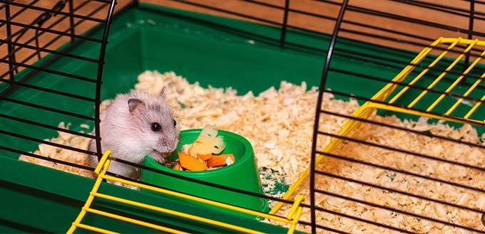 Hamster eating inside his cage