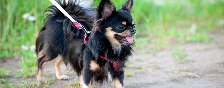 Long-haired tricolor Chihuahua dog in harness