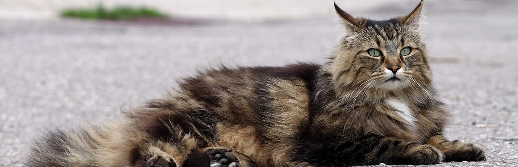 Norwegian Forest Cat: Cat Breed Information, Characteristics and Facts