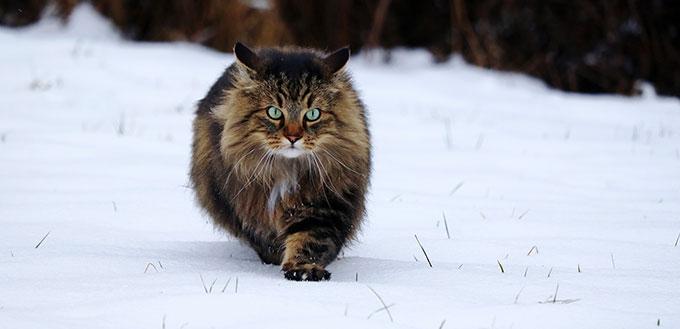 Norwegian Forest Cat walks through the snow