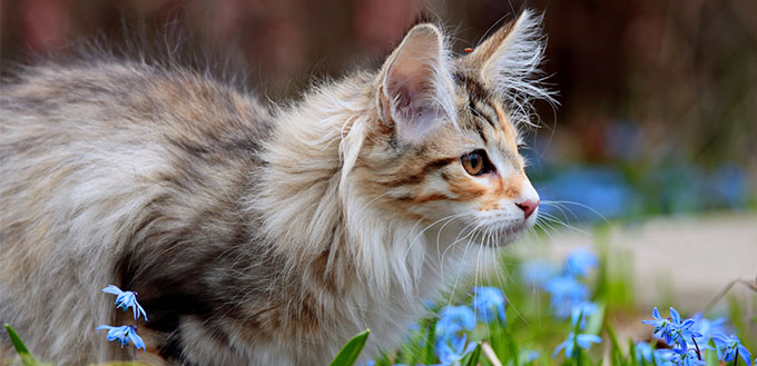 Norwegian forest cat and blue flowers