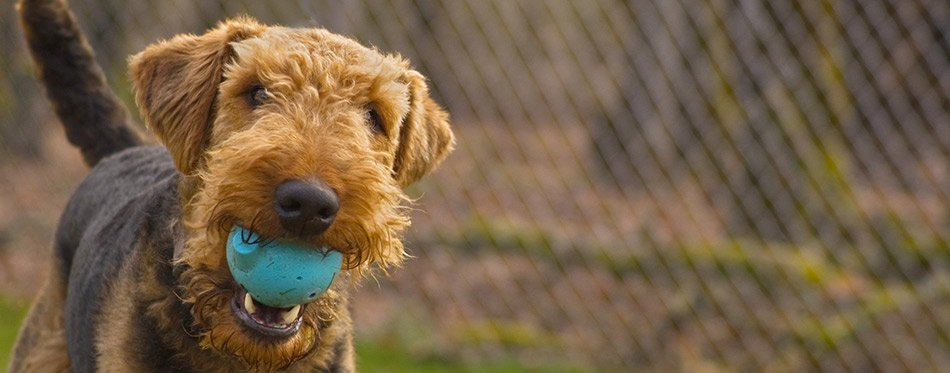 Playful airedale terrier dog