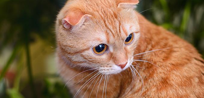 Red scottish fold cat crying