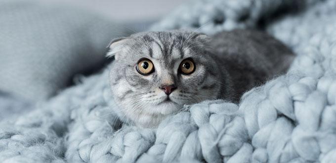 Scottish Fold on a blanket