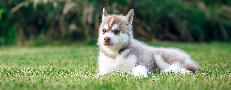 Siberian Husky on the green grass