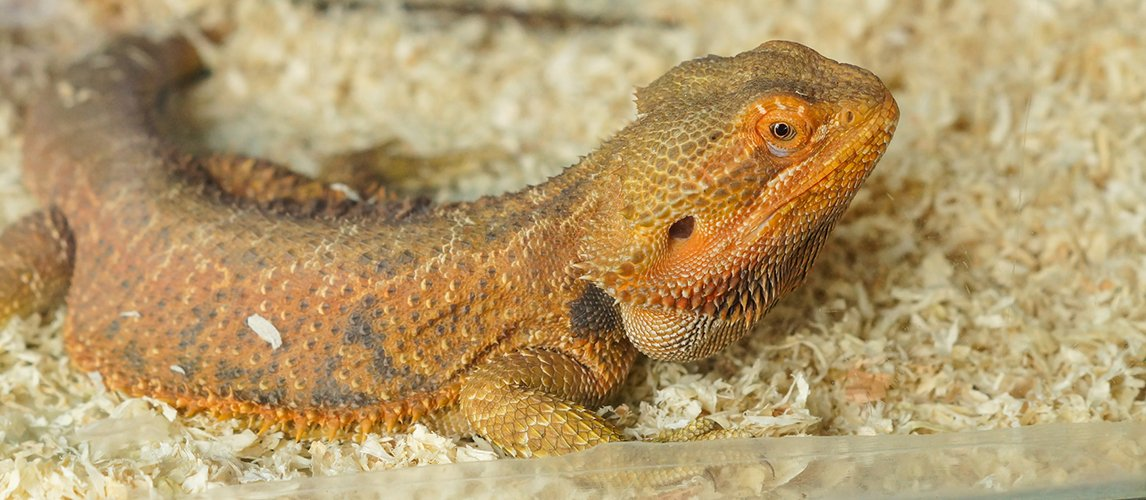 best-substrate-for-a-bearded-dragon-terrarium
