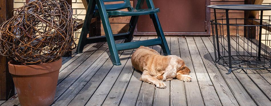 dog spaniel sleeping