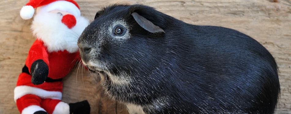guinea pig toy