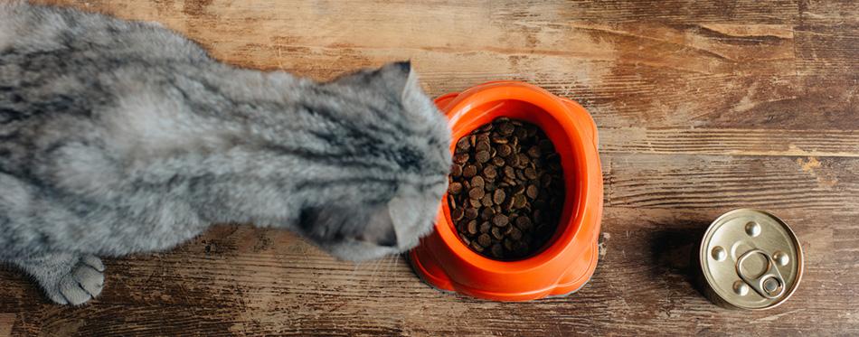 scottish fold cat near bowl with pet food on floor