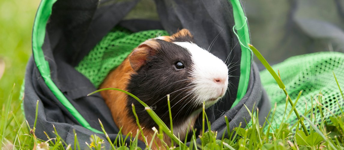 toys-for-guinea-pigs