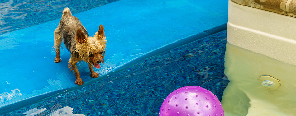 yorkies playing in the Pool with ball