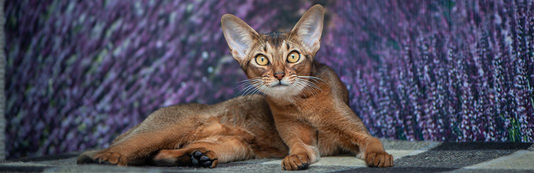 Abyssinian Cat: Cat Breed Information, Characteristics and Facts
