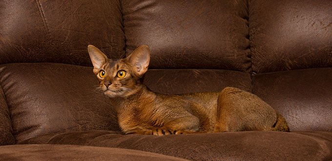 Abyssinian cat lying on brown couch