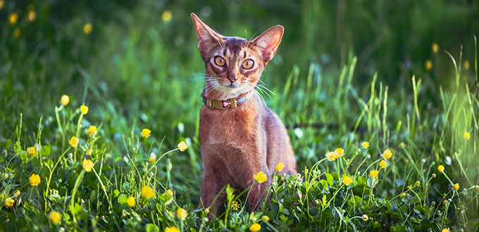 Abyssinian cat on the grass