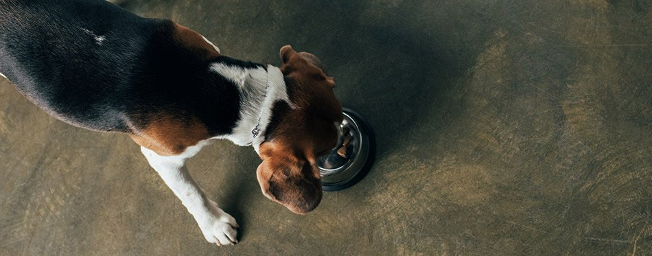 Beagle dog eating from a metal bowl